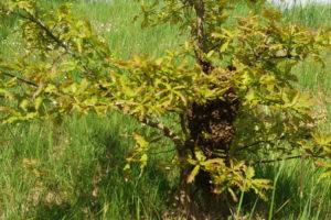Včelí strom